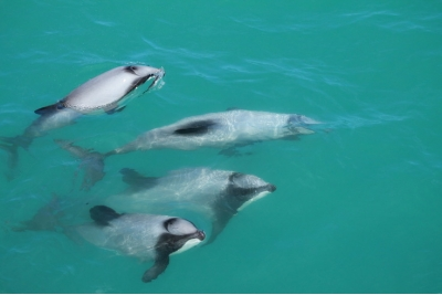 Akaroa + nado c/delfines